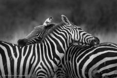 1_Grooming-Zebras-BW