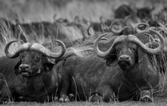 1_Group-of-Cape-Buffalo-BW