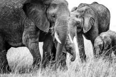 1_High-Key-Elephants-BW