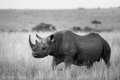 Black-Rhino-BW