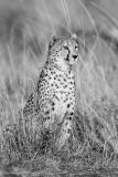 Cheetah-BW