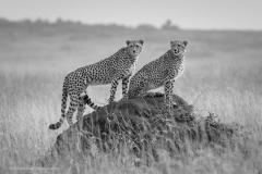 Cheetas-on-Termite-Mound-BW