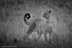Leopard-Bahati-BW