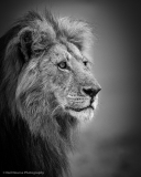 Lion-22Blackie22-BW