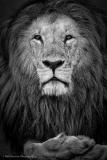 Lion-22Lorparpit22-BW