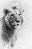 Lion-Portrait-BW