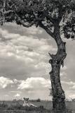 Lioness-under-Tree-BW