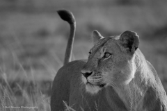 Lioness-with-tail-up-BW