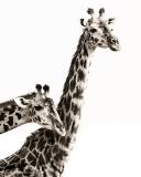 Sepia-Toned-Giraffes