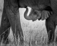 Young-Elephant-under-Mom-BW