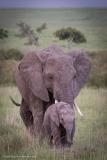 Elephant-Leader
