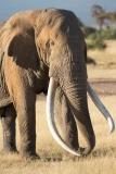 Elephant-Tim