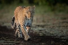 Leopard-Approching