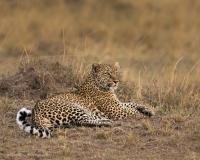 Leopard-Bahati-Resting