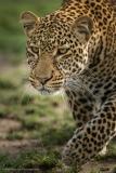 Leopard-Close