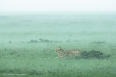 Rain-Storm-Cheetah