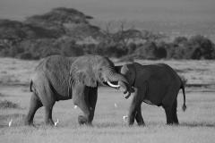 Africa Amboseli Elephants_0062-BW