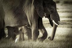 Africa Amboseli Elephants_0090-BW