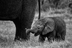 Africa Amboseli Elephants_0140-BW