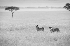 Africa Lions_0170-BW