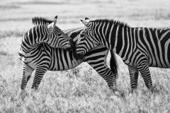 Africa,Ambooseli Zebras_0095-BW