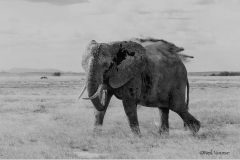 Elephant_0047