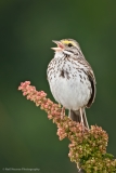 1_Savannah-Sparrow