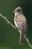 1_Willow-Flycatcher
