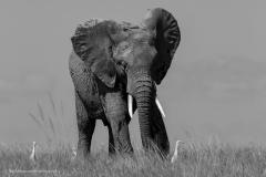 16_Amboseli Elephants_0130-2