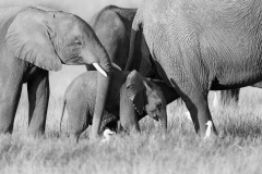 Elephants Amboseli_0206March 02, 2016
