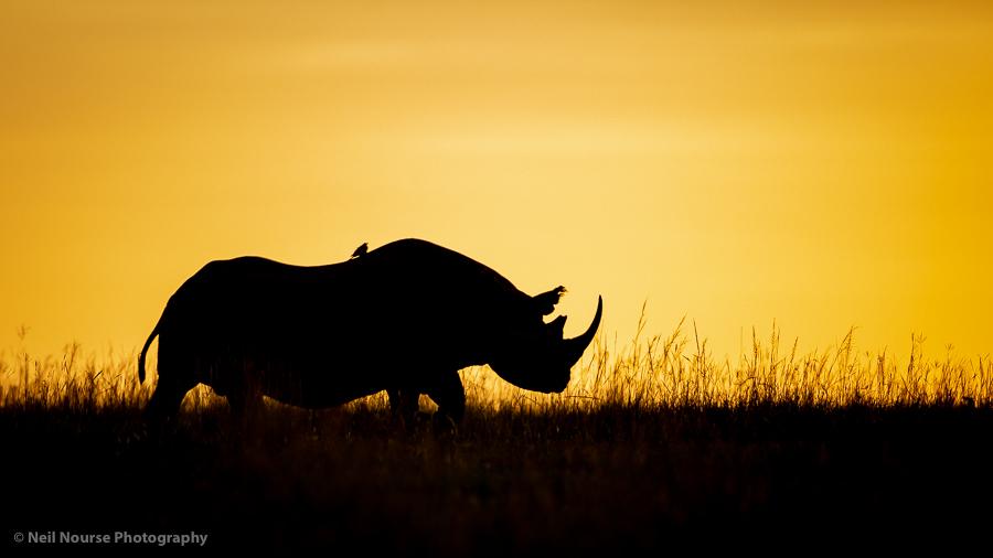 1_Backlit-Rhino