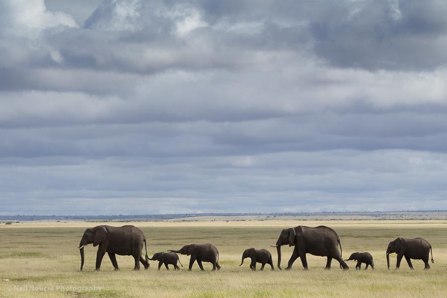 Amboselli-Elephants