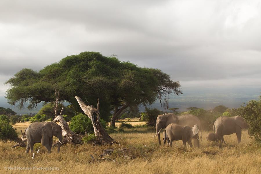 Elephants-Acacia-Tree