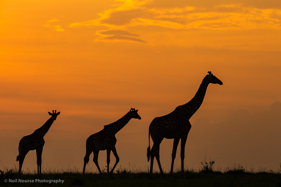 Sunrise-Giraffes