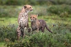 Cheetah-and-Cub_0193-0313