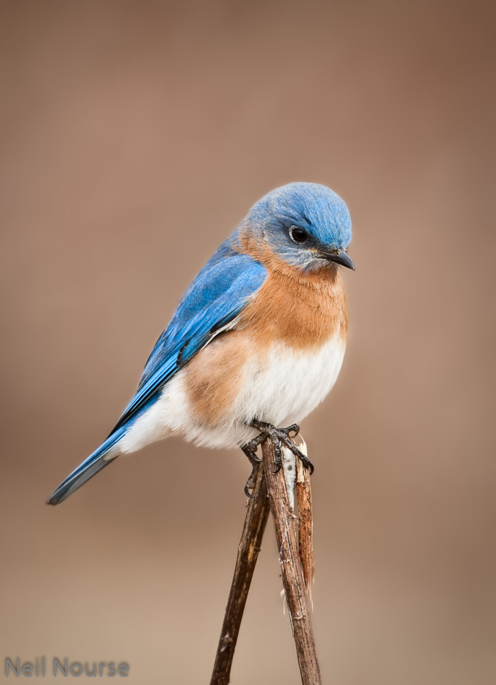 Eastern-Bluebird-7855-Edit.jpg