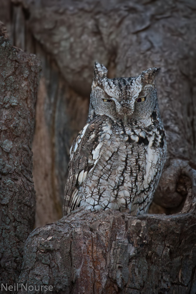 Eastern-Screech-Owl-8078-Edit.jpg