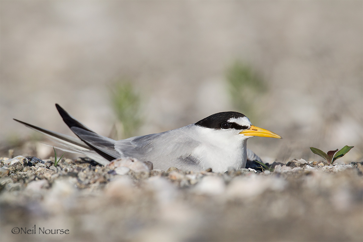 15_Least-Tern_0045-Edit